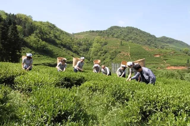 一起探索湖北省旅游委发布的16个春季湖北采茶旅游胜地
