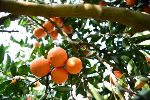 秭归县:小小脐橙带来大大的改变,农业经济的发展