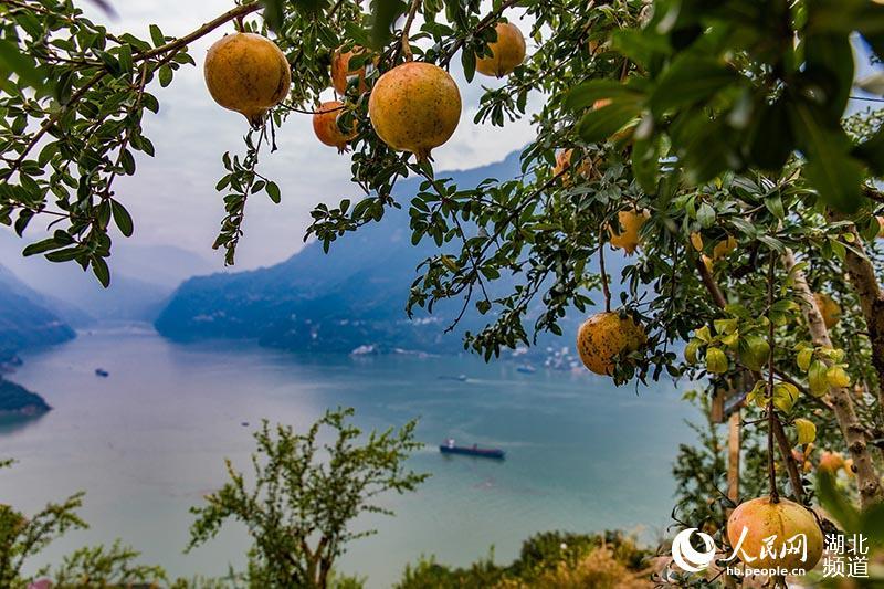湖北秭归:长江村里的梯田石榴丰收了