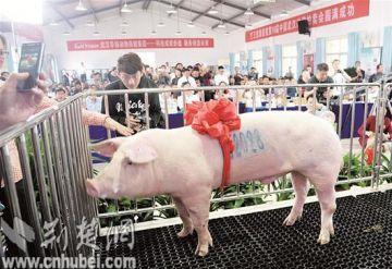 """湖北2020年的""""猪王""""已诞生,身价4·2万元"""