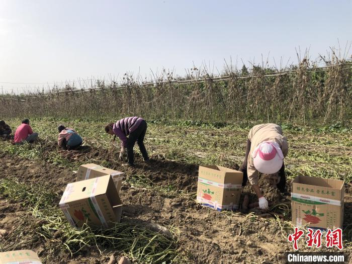 湖北襄阳老河口的新鲜红薯将会走上香港的市场