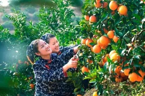 """秭归""""九月红""""开始采摘了,爱吃脐橙的快来围观了"""