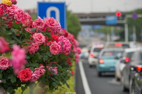 武汉:道道花瀑蜿蜒绕江城,百万株月季花颜迥异